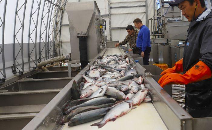 Почти 11 тыс. тонн лососей добыли рыбаки Камчатки