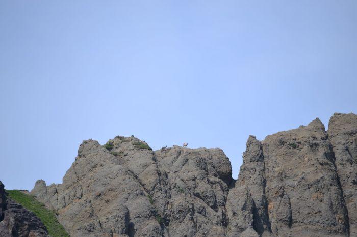 Снежных баранов пересчитают в природных парках Камчатки