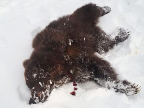 Агрессивного медведя-шатуна застрелили на Камчатке (Фото)