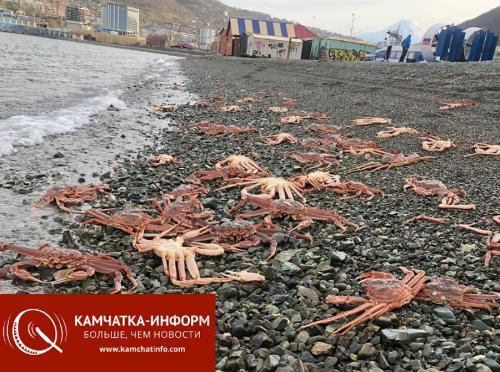 На городской пляж на Камчатке выбросило крабов (фото)