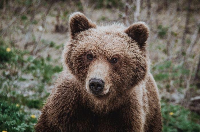 Медведи на Камчатке: уничтожать нельзя соседствовать . Фото Анастасии Юдаевой (Ерохиной), РАИ