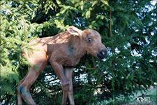 Лосенка подобрали в лесу жители поселка Козыревск на Камчатке. Фото Агентства лесного хозяйства