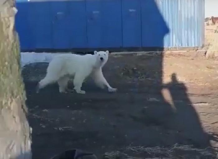 Белая медведица Колымана якутского зоопарка сегодня вышла из берлоги с малышом